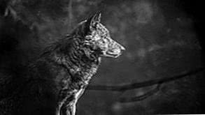 Black Wolf 4K Wallpapers