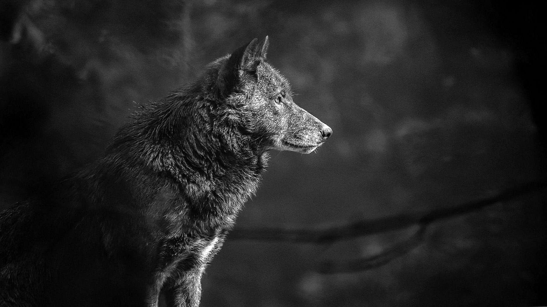 Wolf Wallpapers 4K For PC