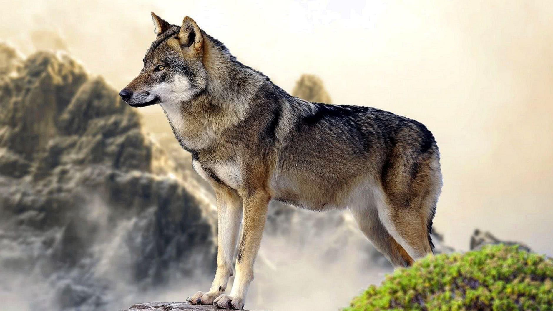 Wolf Wallpaper 3840×2160