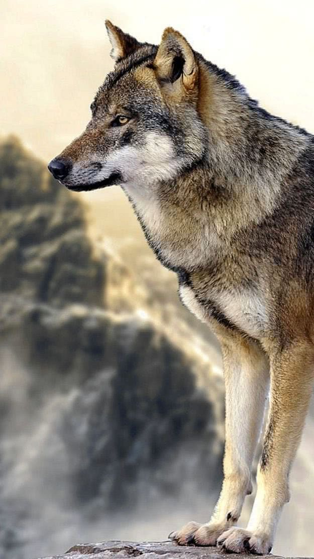 Wolf Wallpapers 4K Mobile