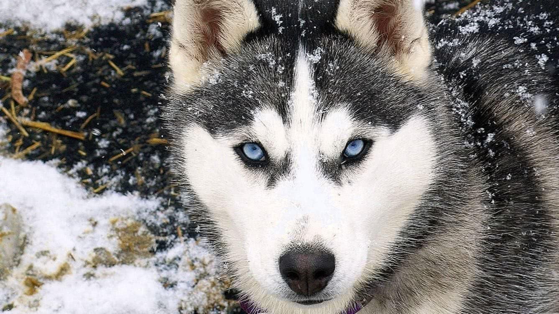 Siberian Wolf HD Wallpapers