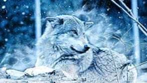Wallpapers Wolf Cold
