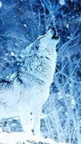 Wallpapers Snow Wolf