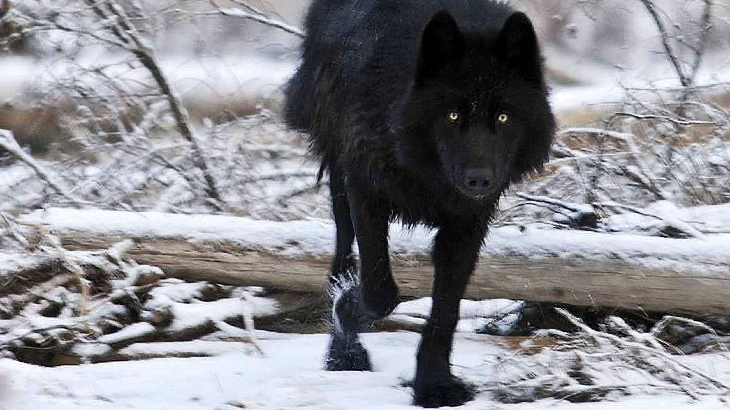 Black Wolf In Snow Wallpapers