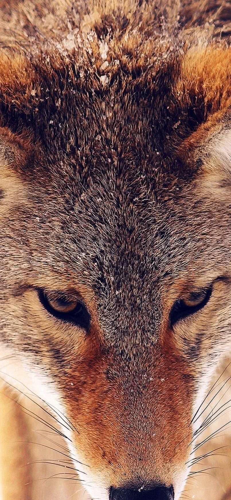 iPhone XS Wolf Wallpaper