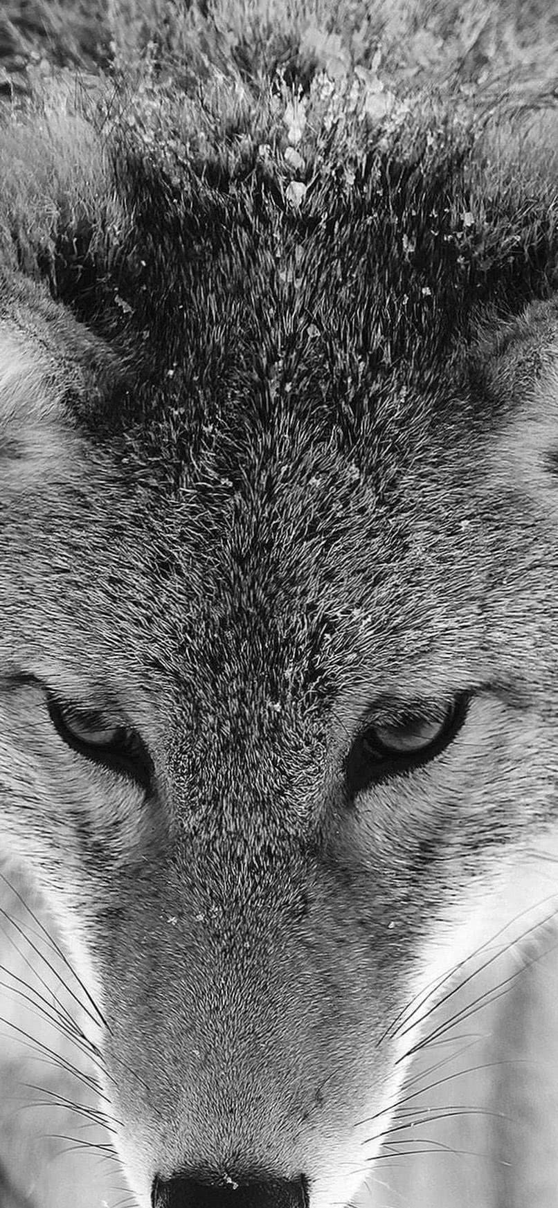 Wolf Wallpaper iPhone XR