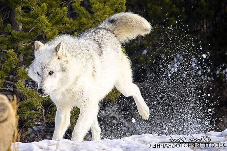 Most Beautiful Wolf Wallpapers