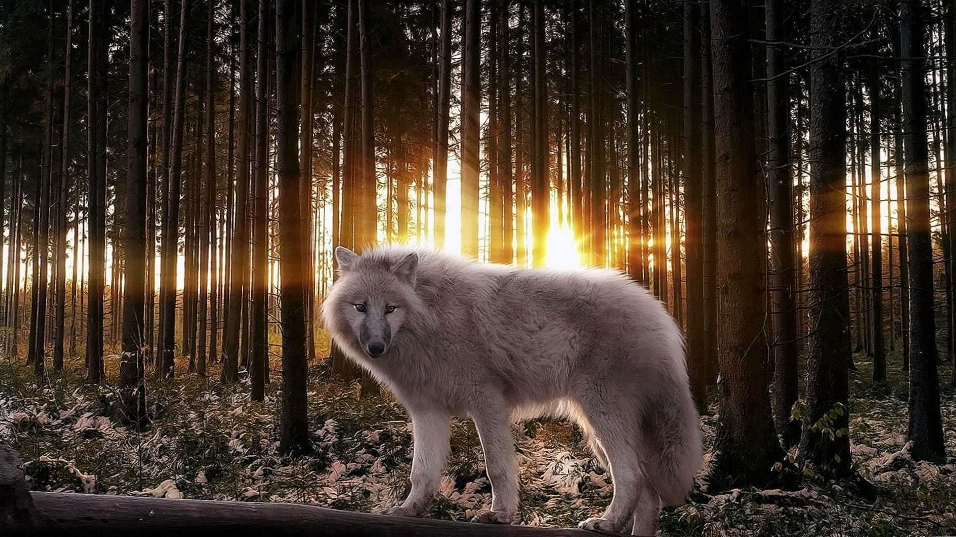 Wolf Hybrid Wallpaper