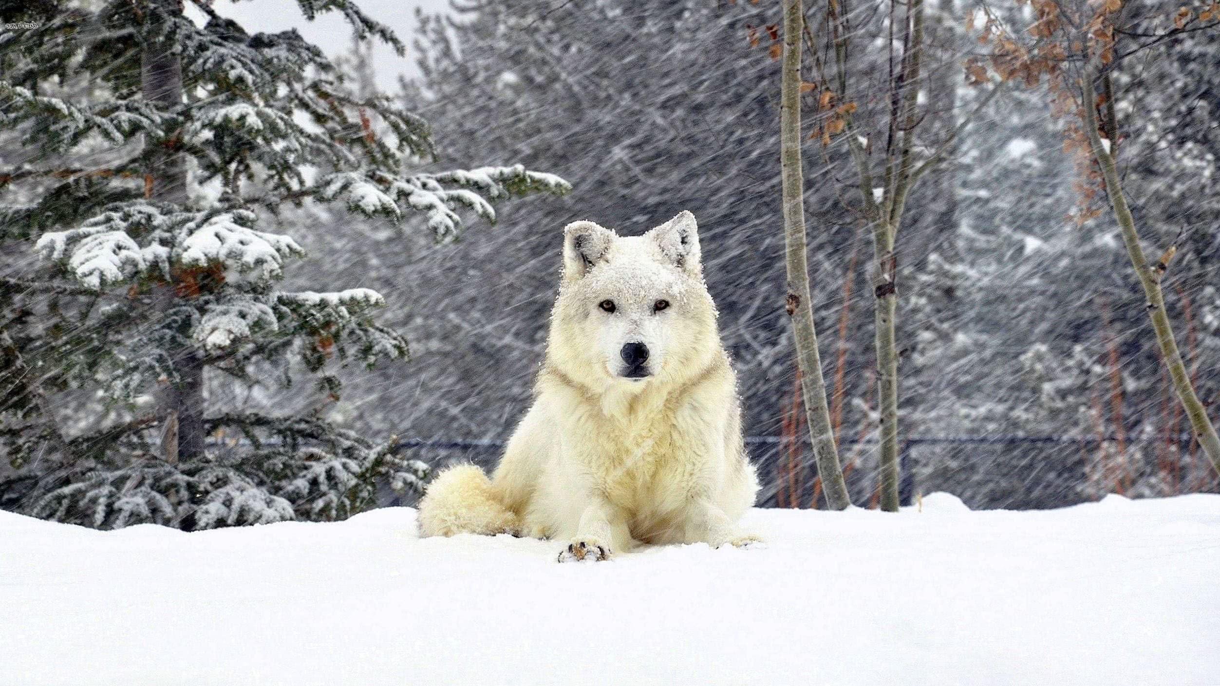 Wolf In Snow Wallpaper