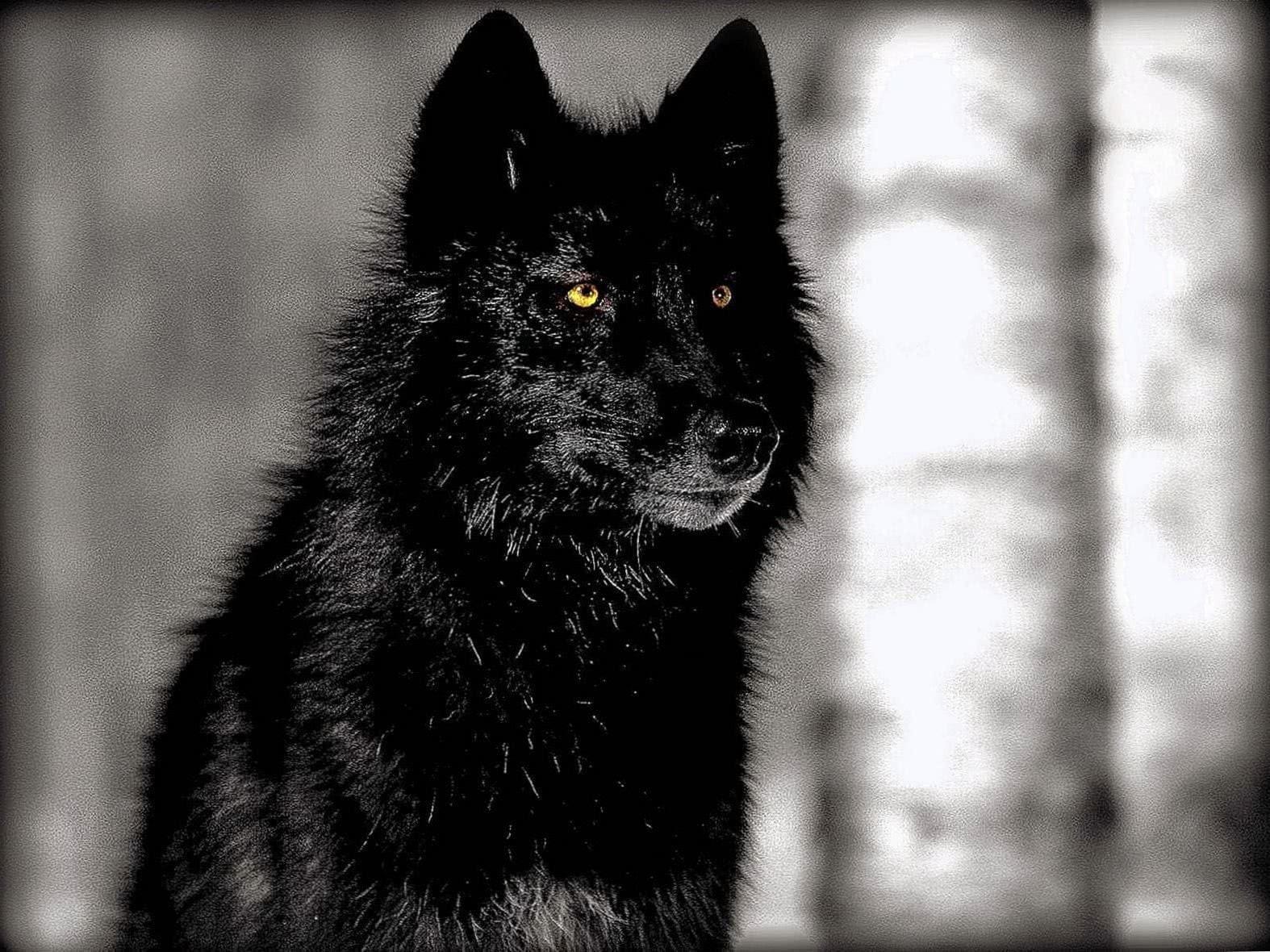 Wallpaper HD Wolf Black