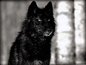 Black Wolf Wallpapers Desktop