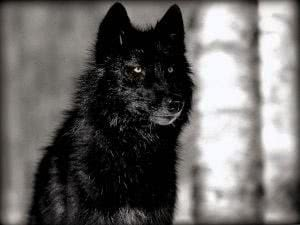 Wallpapers Wolf Black
