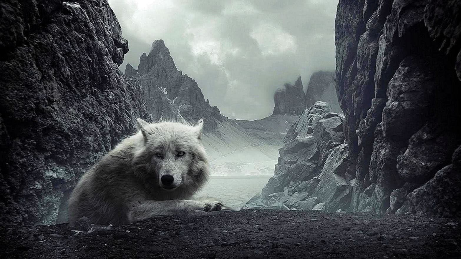 Wolf Wallpapers 1600x900