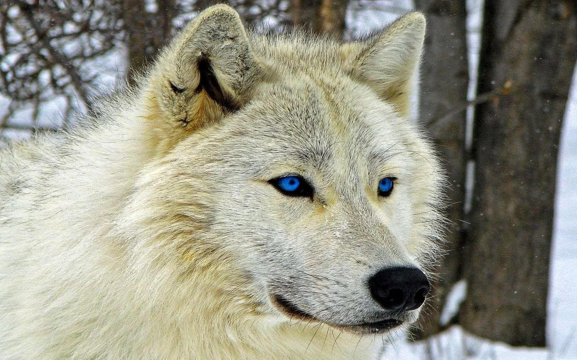 Wallpaper Wolf White