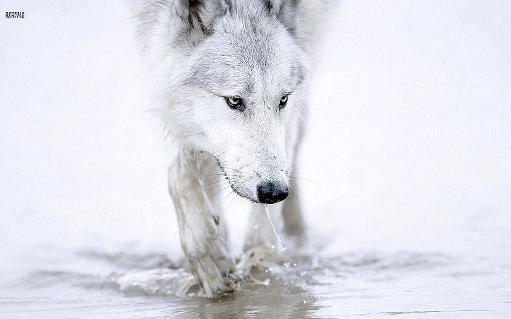 White Wolf Background Wallpaper