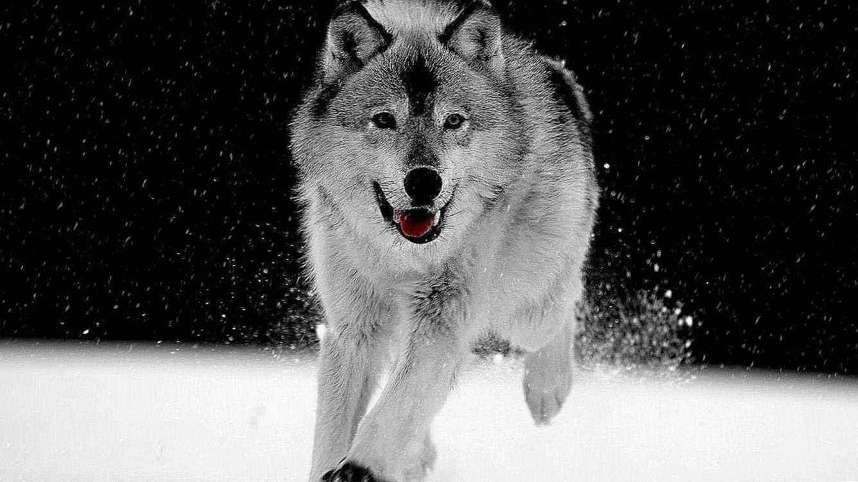 White Wolf In Snow Wallpaper