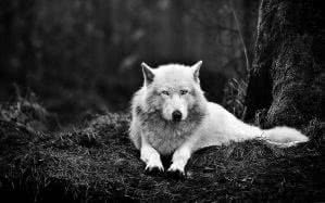 Picture Of A White Wolf Wallpapers