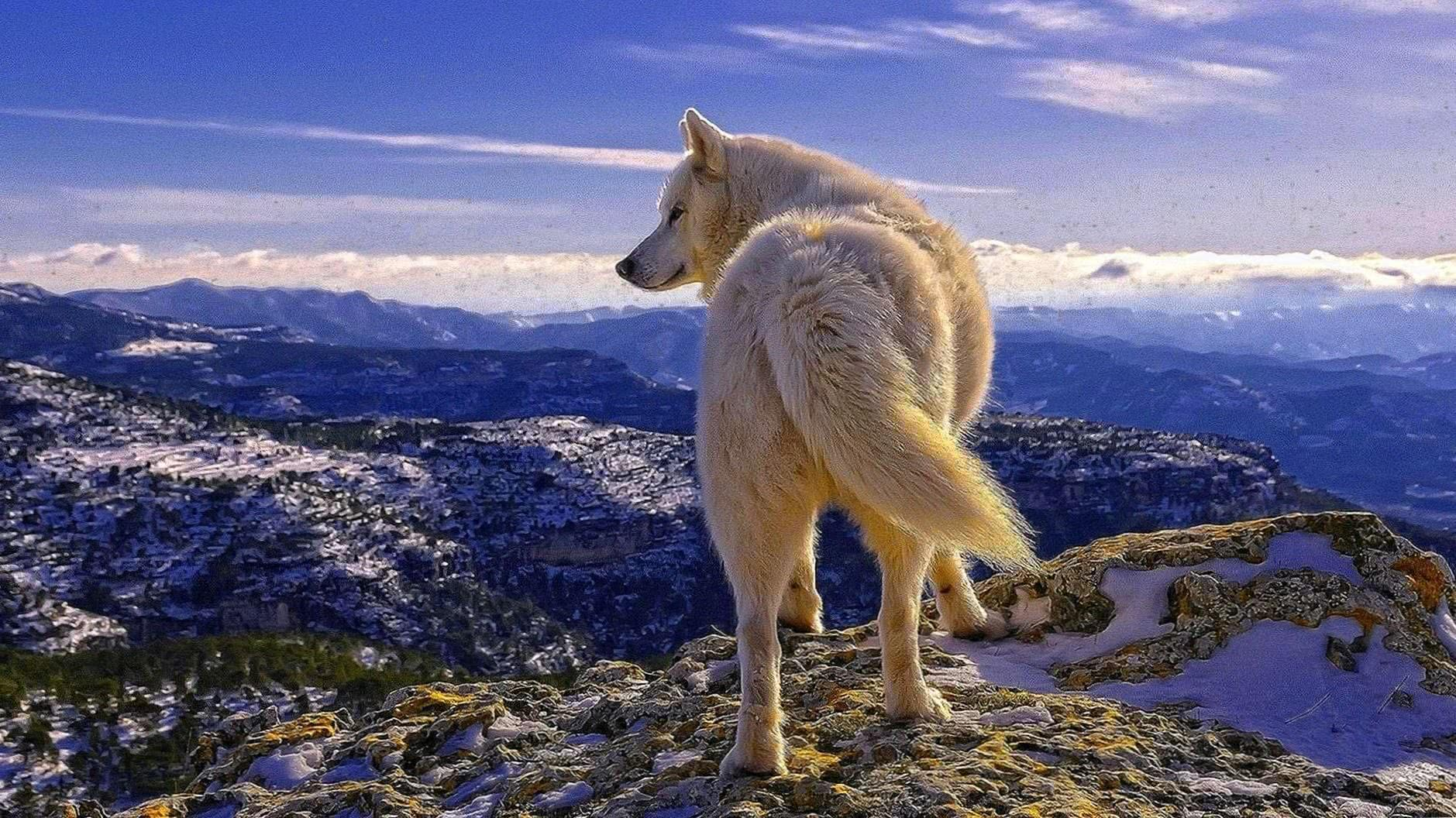 Desktop Wallpapers White Wolf