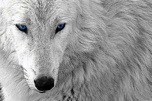 White Wolf With Blue Eyes Wallpapers