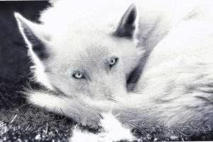 Blue Eyes Wolf Wallpapers
