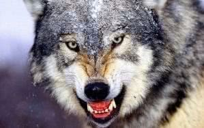 Wolf Wild Animal Wallpapers