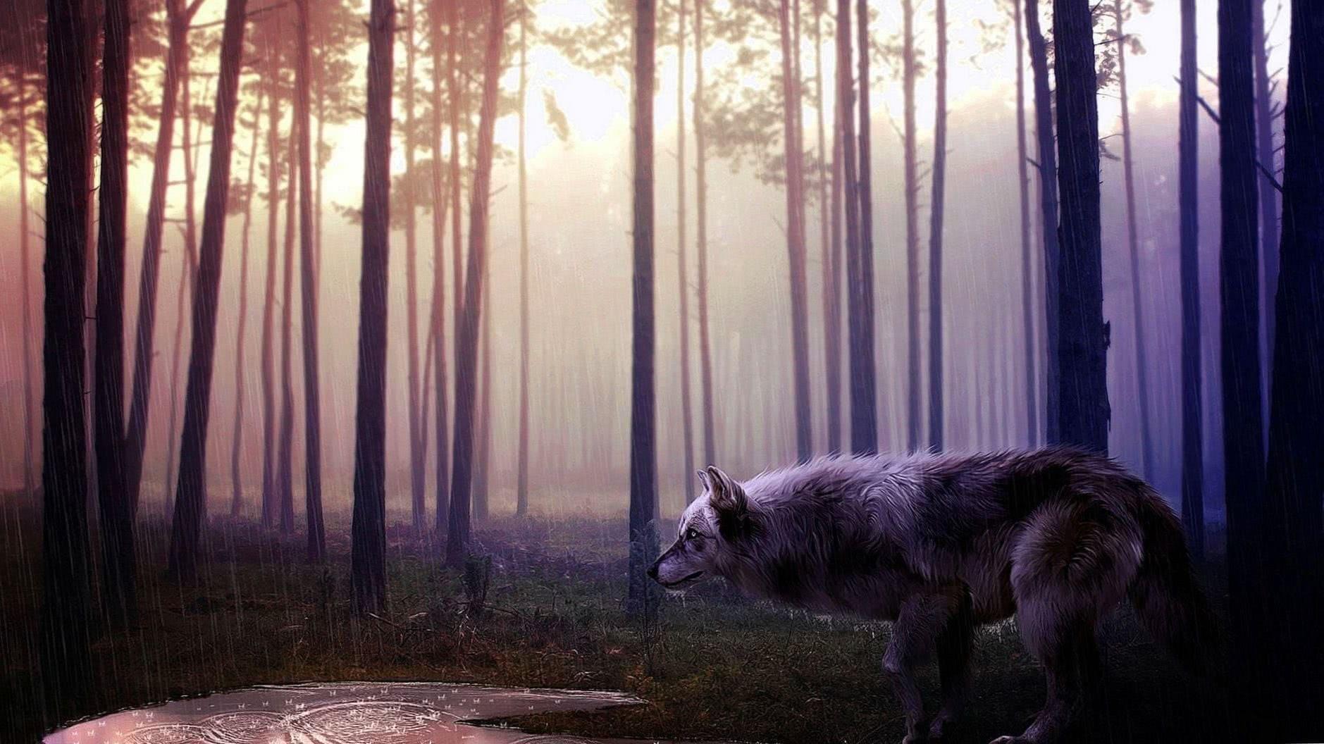 Wild Wolf HD Wallpaper