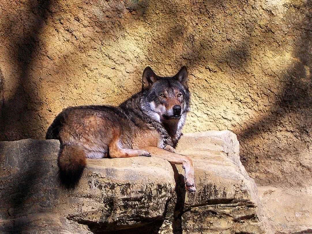 Wolf Wallpaper Windows 7
