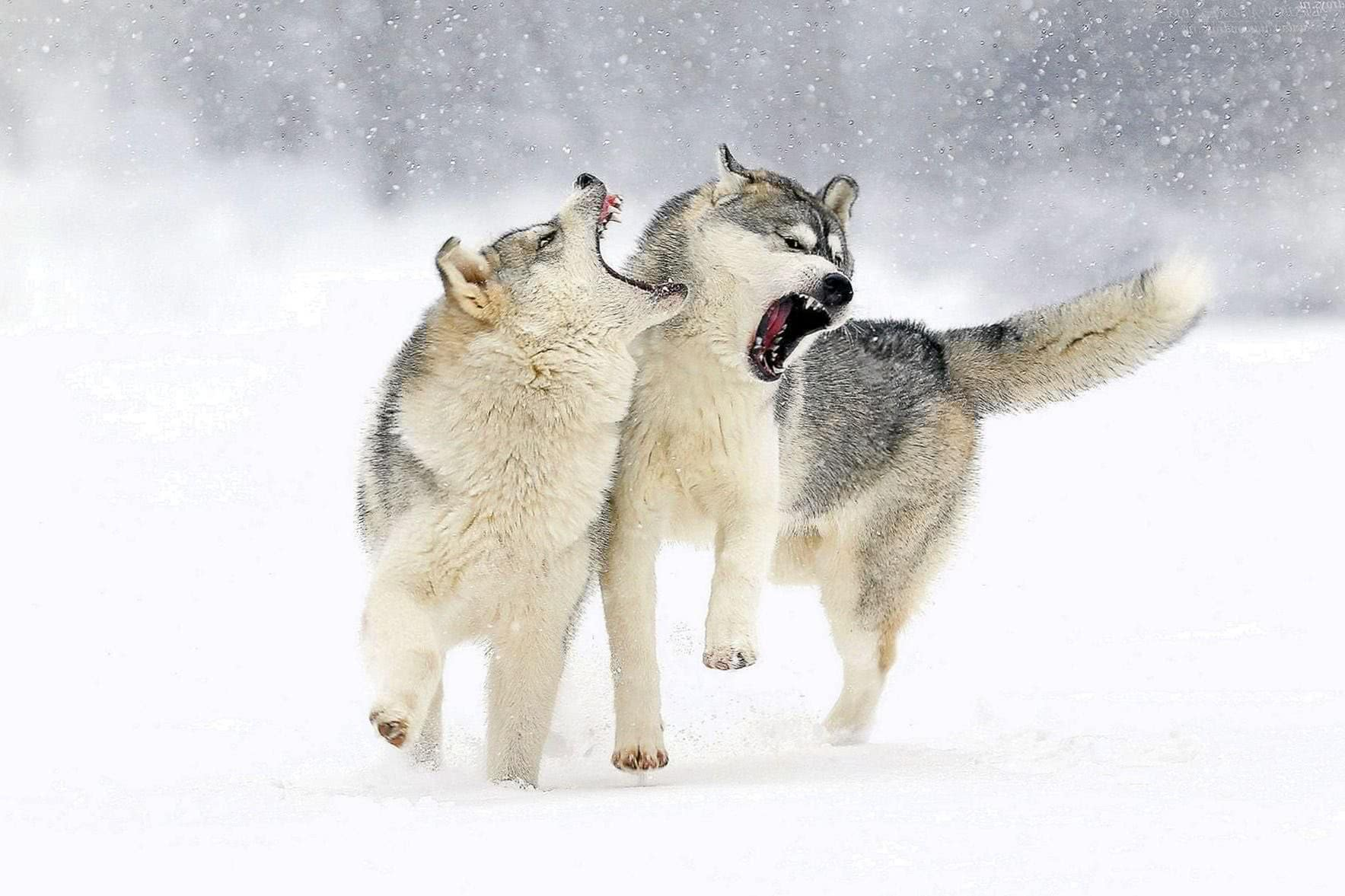 Wolf Snow Wallpaper HD
