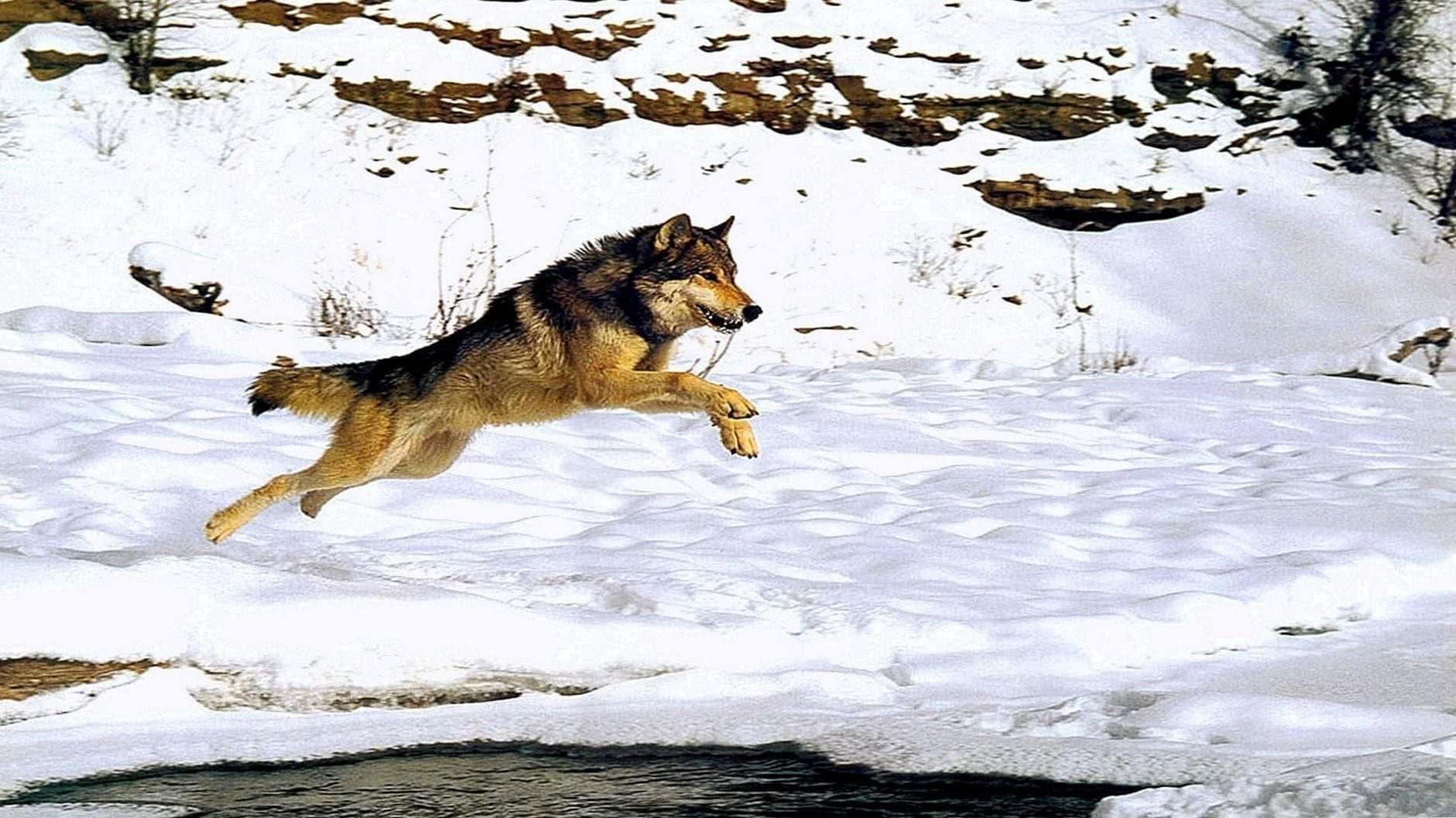 Winter Wolf Wallpaper