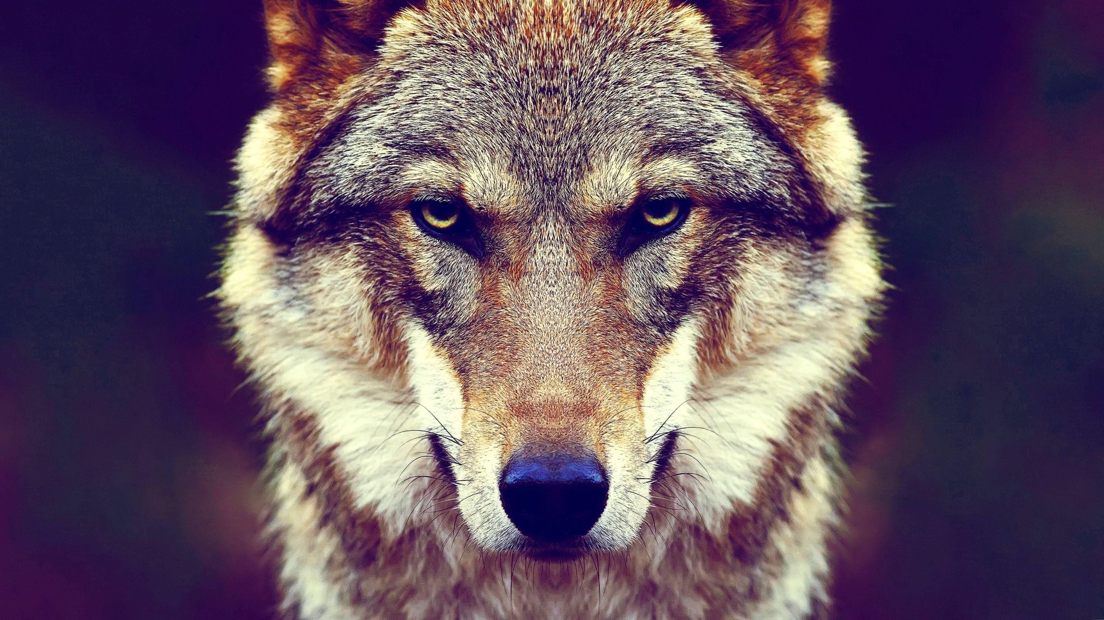 Wolf Face 4K Wallpaper