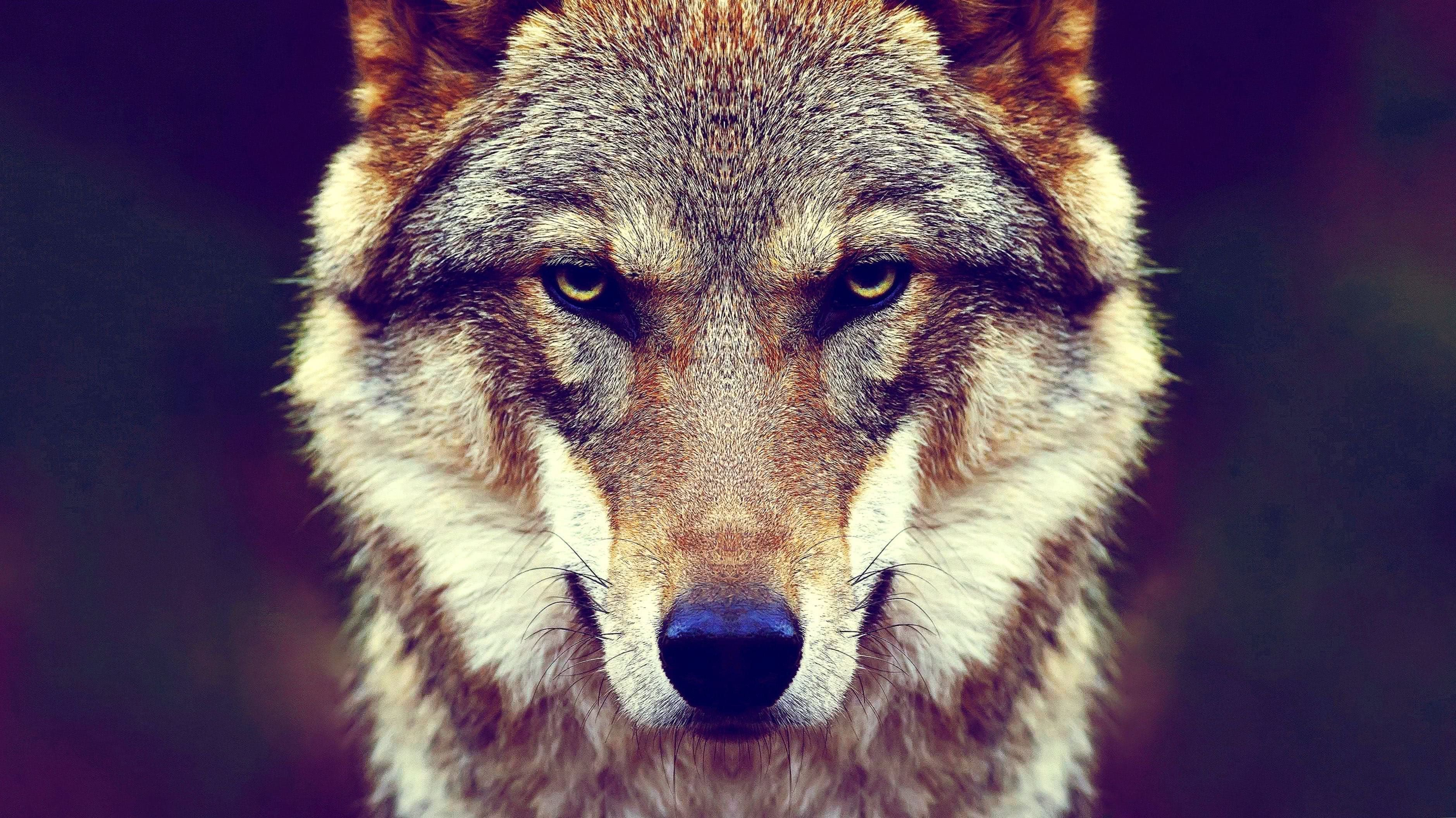 Wolf Face Wallpapers 4K