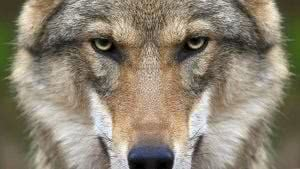 Wolf Face Wallpapers HD