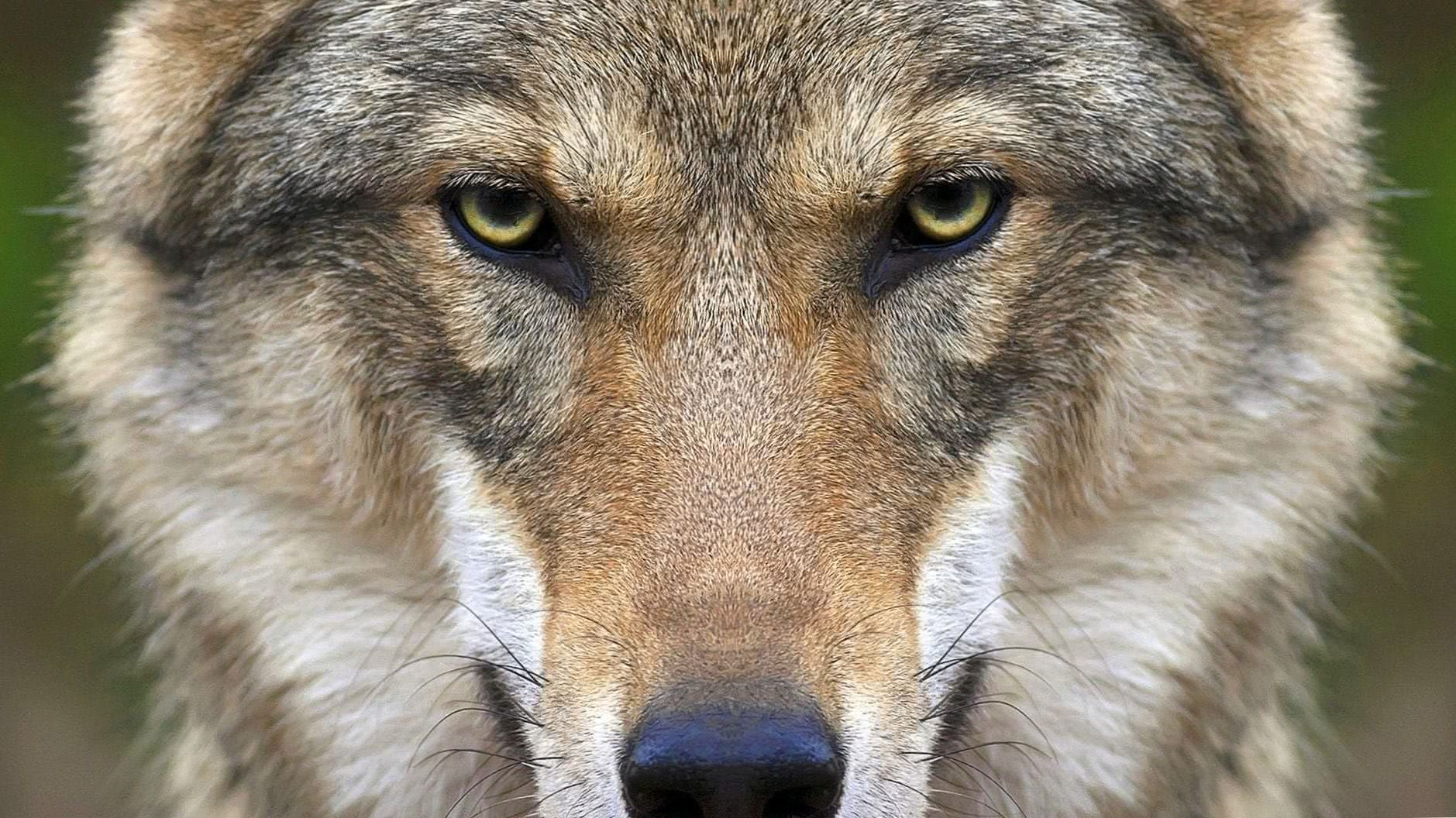HD Wallpapers Of Wolf Face