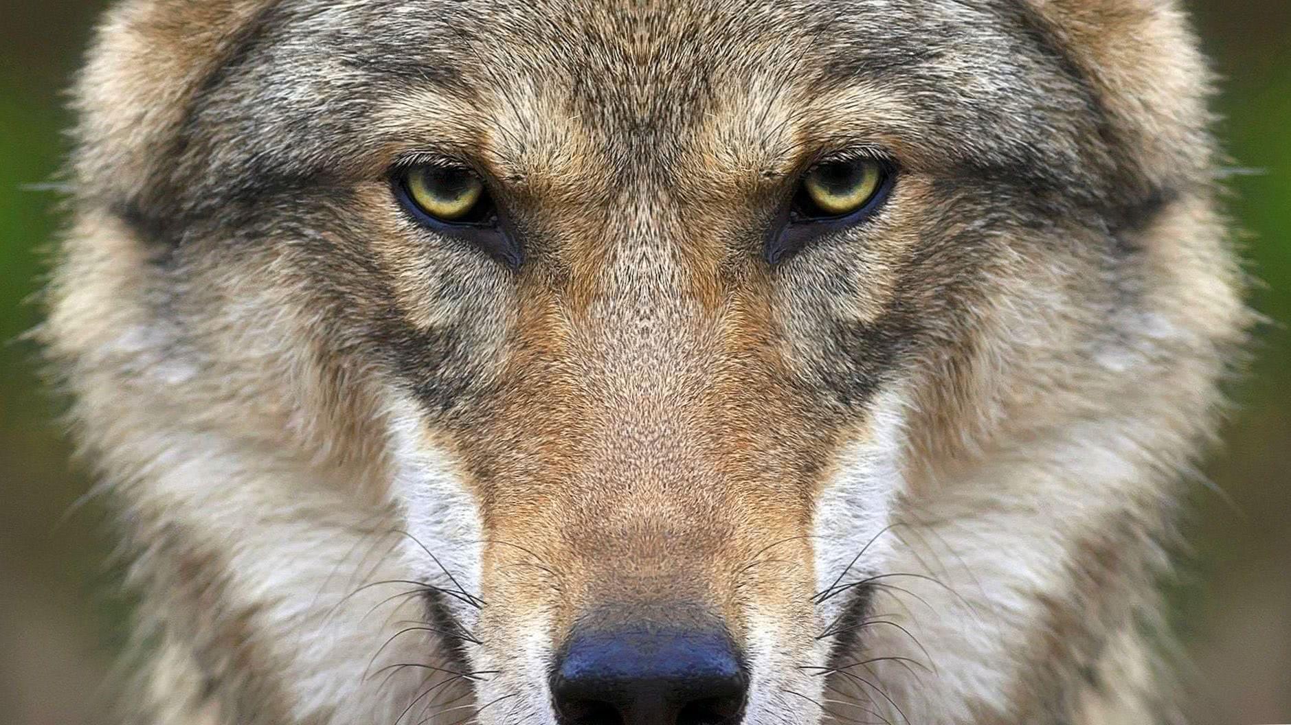 HD Wallpaper Of Wolf Face