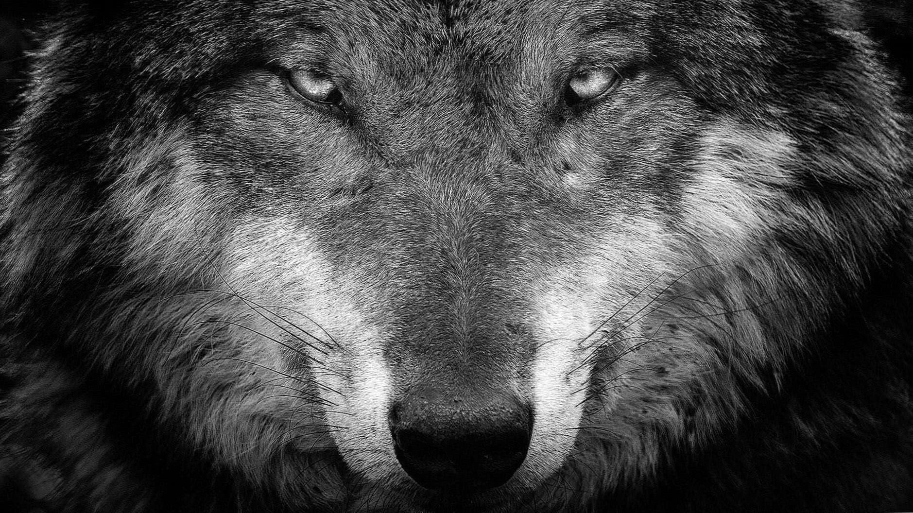 Windows 10 Wallpaper HD Wolf