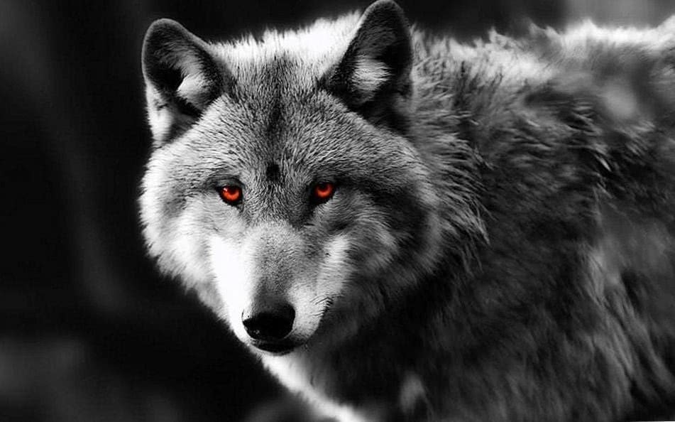 Black Wolf With Red Eyes Wallpapers