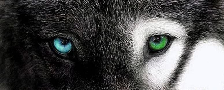 Eyes Of Wolf Wallpaper