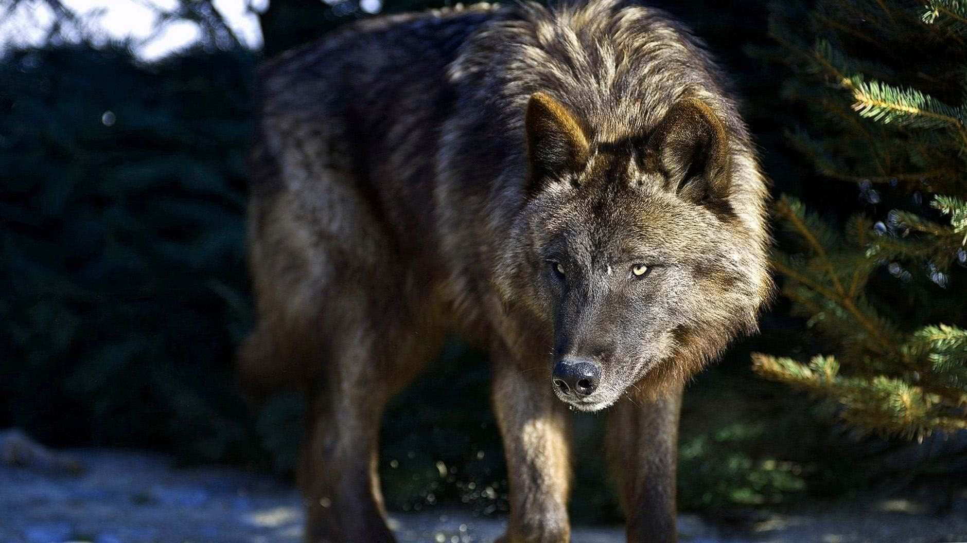 Nature Wolves Wallpaper