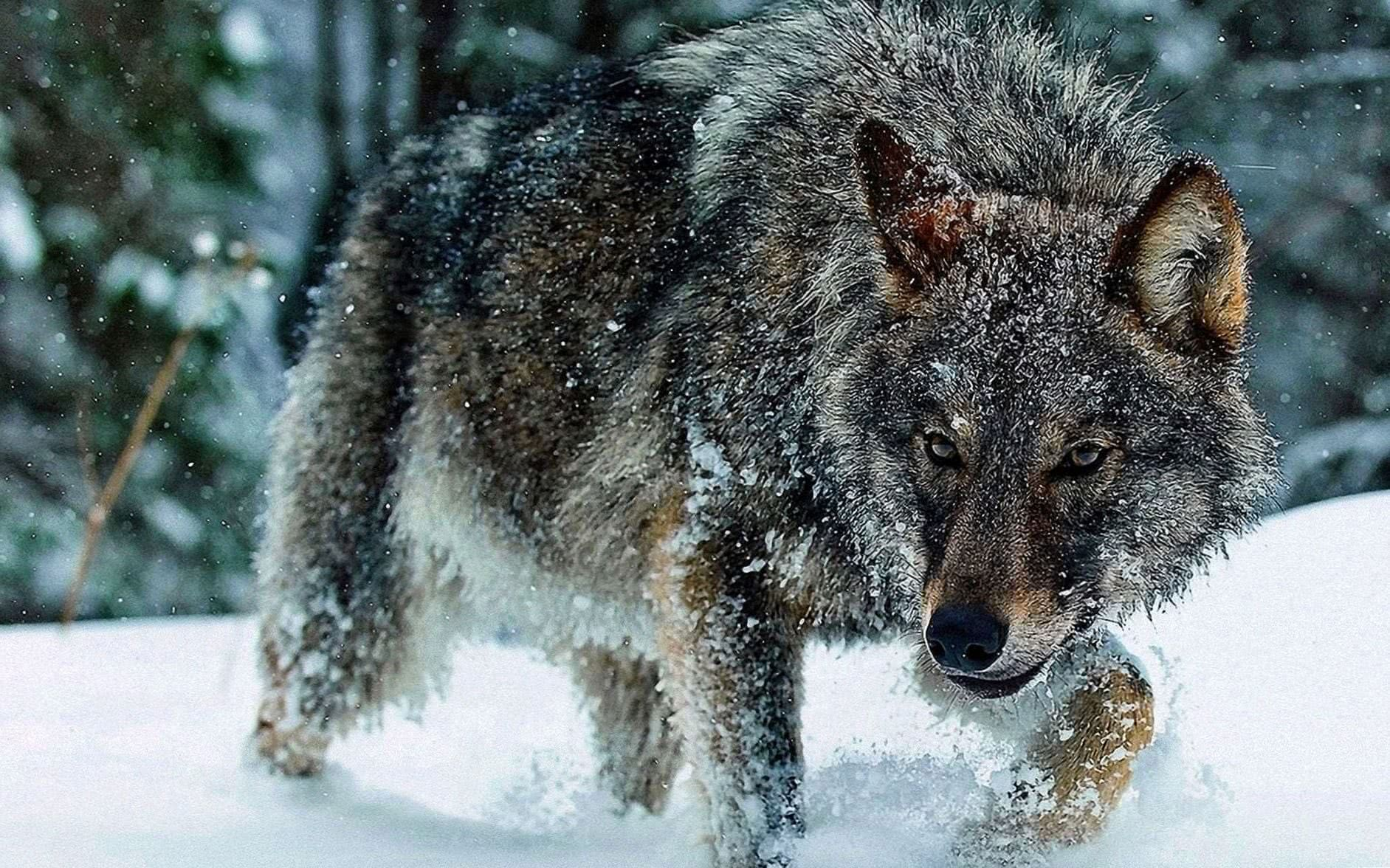 Wolves Hunting HD Wallpaper