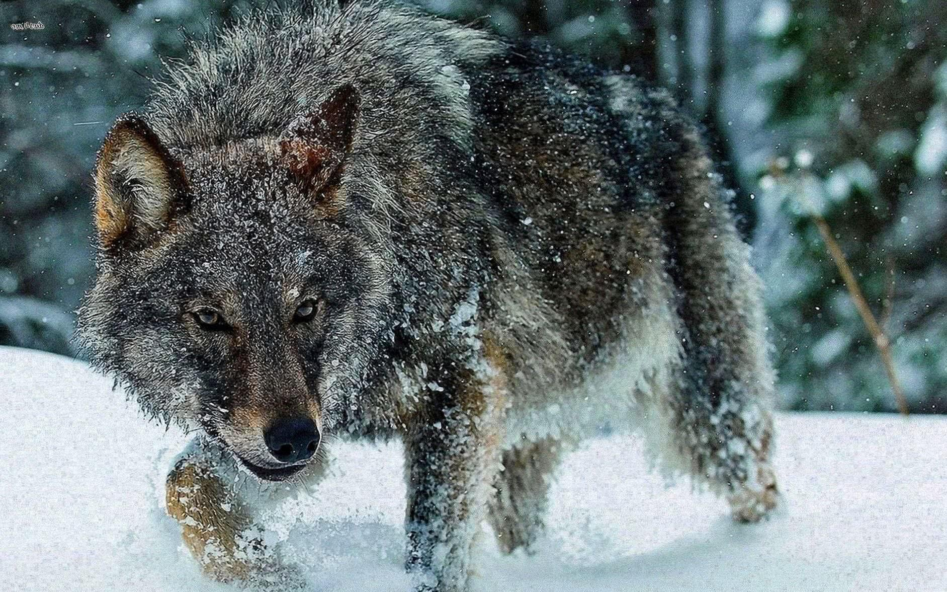 Wolf Wallpaper In Snow