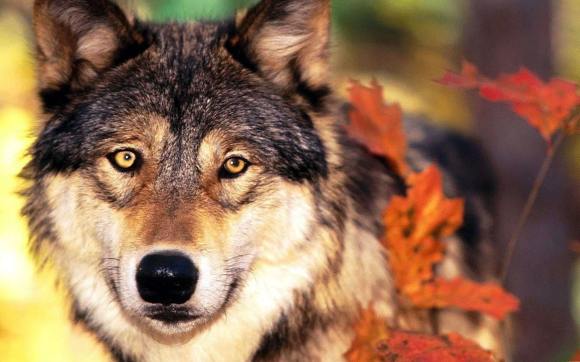 Wildlife Wolf Wallpapers