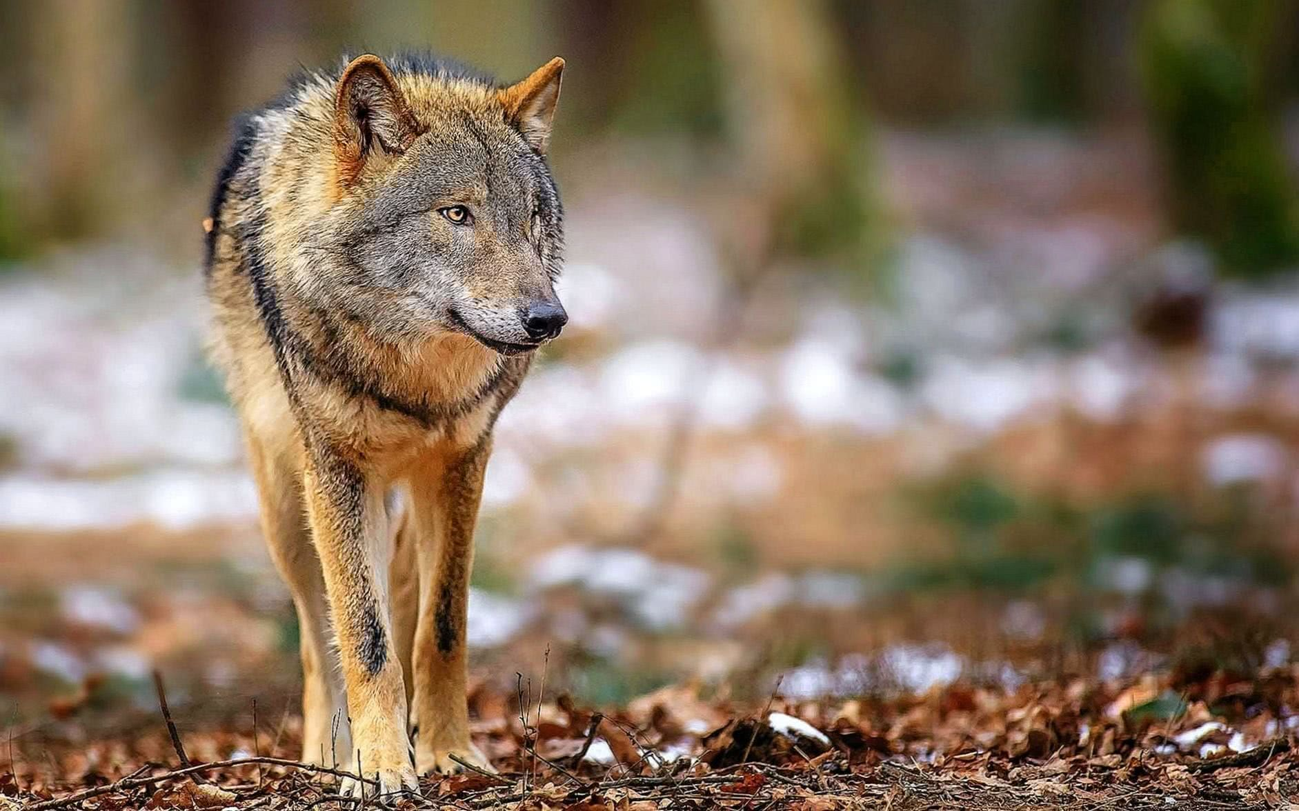Wallpapers Full HD 1920×1080 Wolf