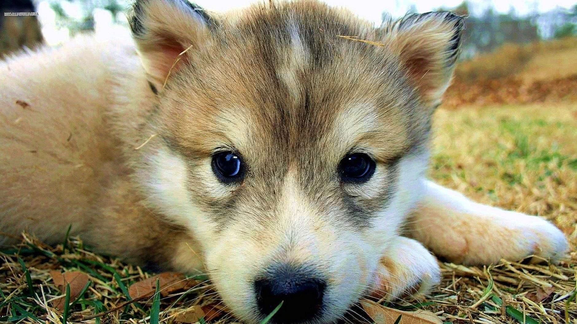 Cute Wallpapers Of Wolves