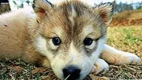 Cute Wallpapers Wolf