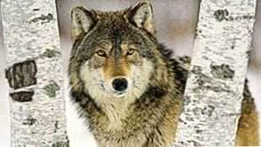 Wolf Wallpapers Themes