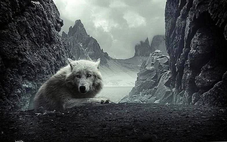 Black Wolf HD Wallpaper For Android