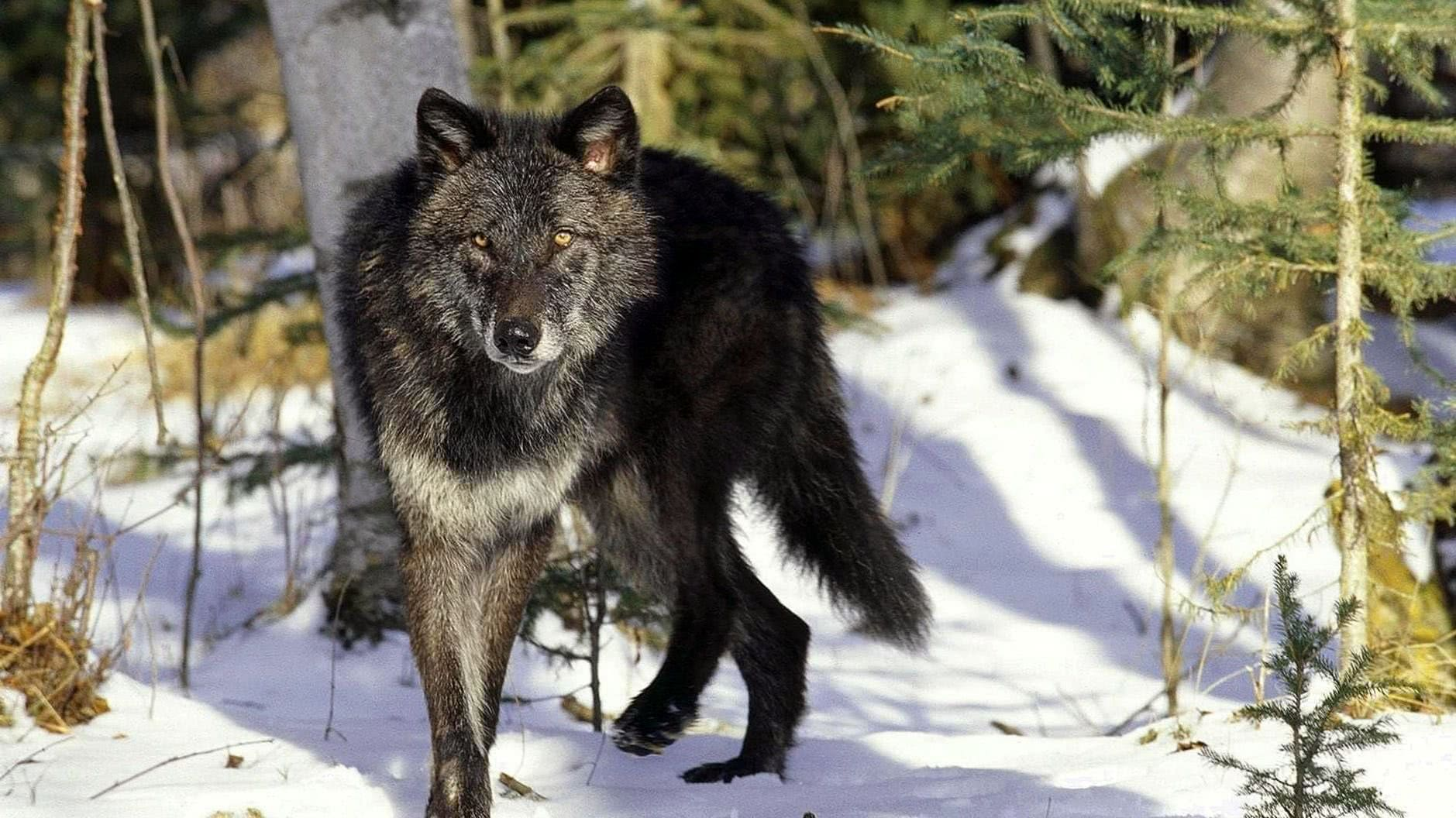 Snow Wolf Wallpapers HD