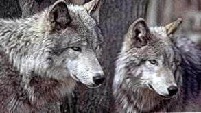 HD Wolf Couple Wallpapers