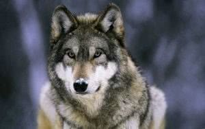 Full HD Wallpapers Wolf