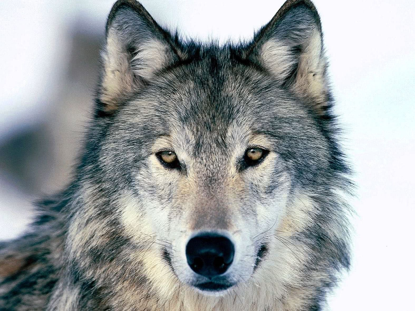 Wolf Wallpapers High Resolution